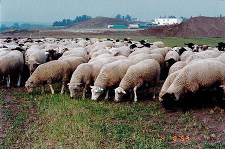 Sheep grazing photograph. Copyright Rosemarie Garvey, 1993.