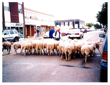 Sheep Leaving Parade photograph from the Fort Heritage Precinct Collection. Copyright S. Benoit 2004.